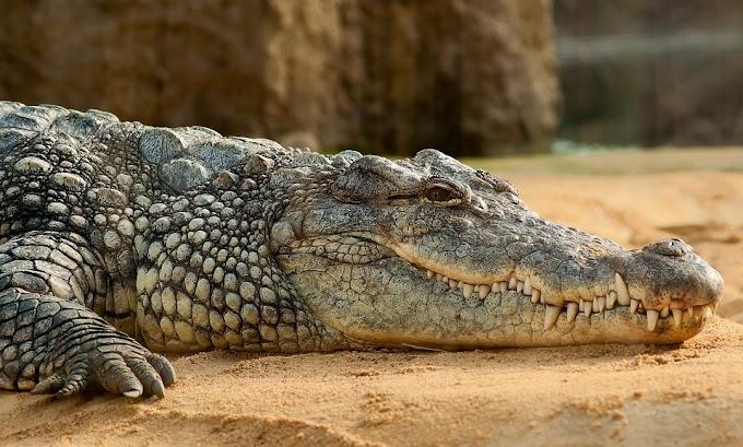 Plaga de cocodrilos en Brasil se hace viral