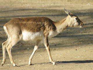 Antilope cervicapre - Antilope indienne - Antilope cervicapra