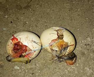 Tips jitu mengatasi babon betina memakan telurnya sendiri