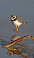 Common Ringed Plover, July 2008, photo by Myosotis Scorpioides