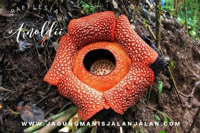 Bunga Raflflesia Arnoldii yang lagi mekar sempurna di hutan kepahiang bengkulu
