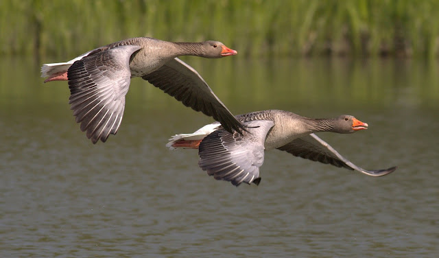 Two Birds in Flight Geese HD Wallpaper