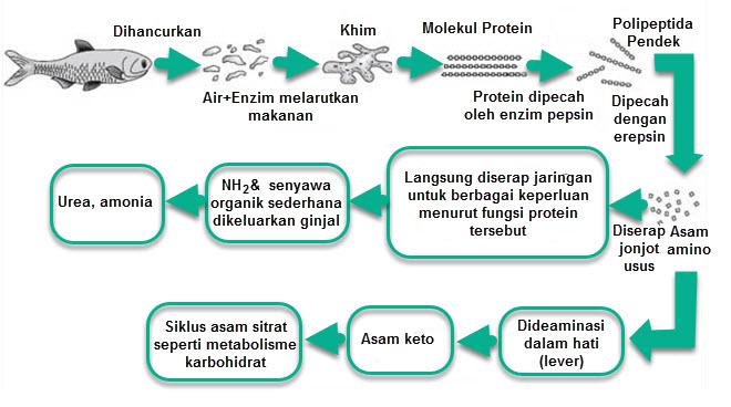 Pencernaan Protein dalam Tubuh