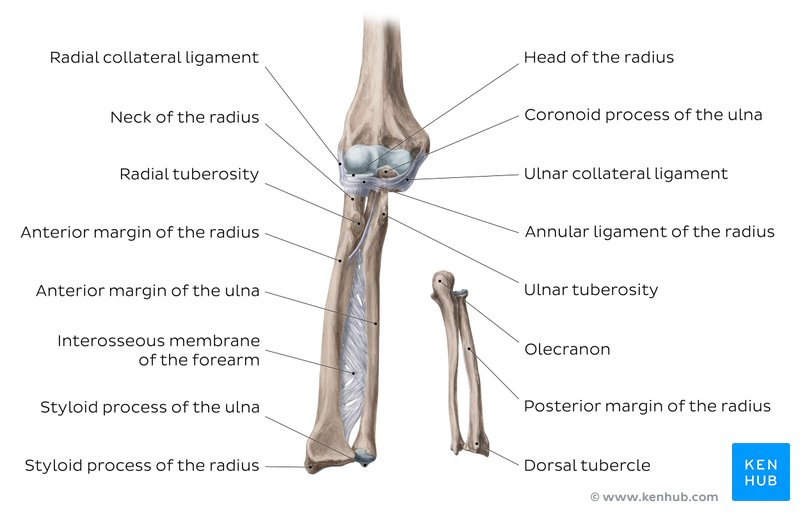 The human elbow is formed by three bones of different volume and density - ulna, radial (their proximal part) and shoulder (respectively, distal).