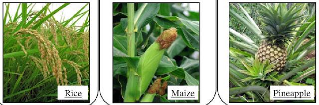 Contoh tumbuhan C3 adalah padi, C4 adalah jagung, CAM adalah nanas