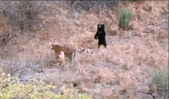 beruang vs harimau