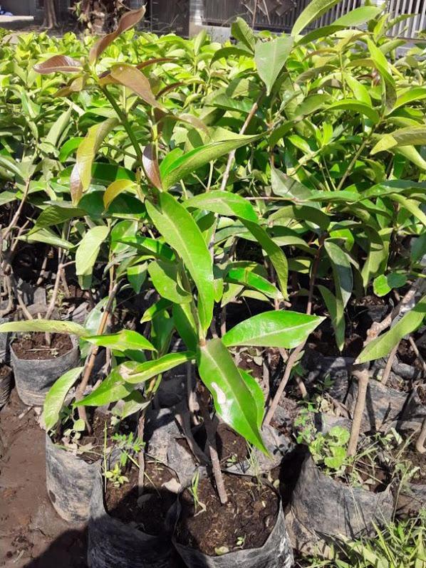bibit jambu jamaika Sumatra Barat