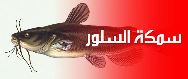 سمك السلور - نعر - معني نعرمر - سمك القرموط