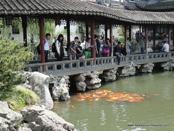 golden coi in Yuyuan Garden in Old City in Shanghai, China
