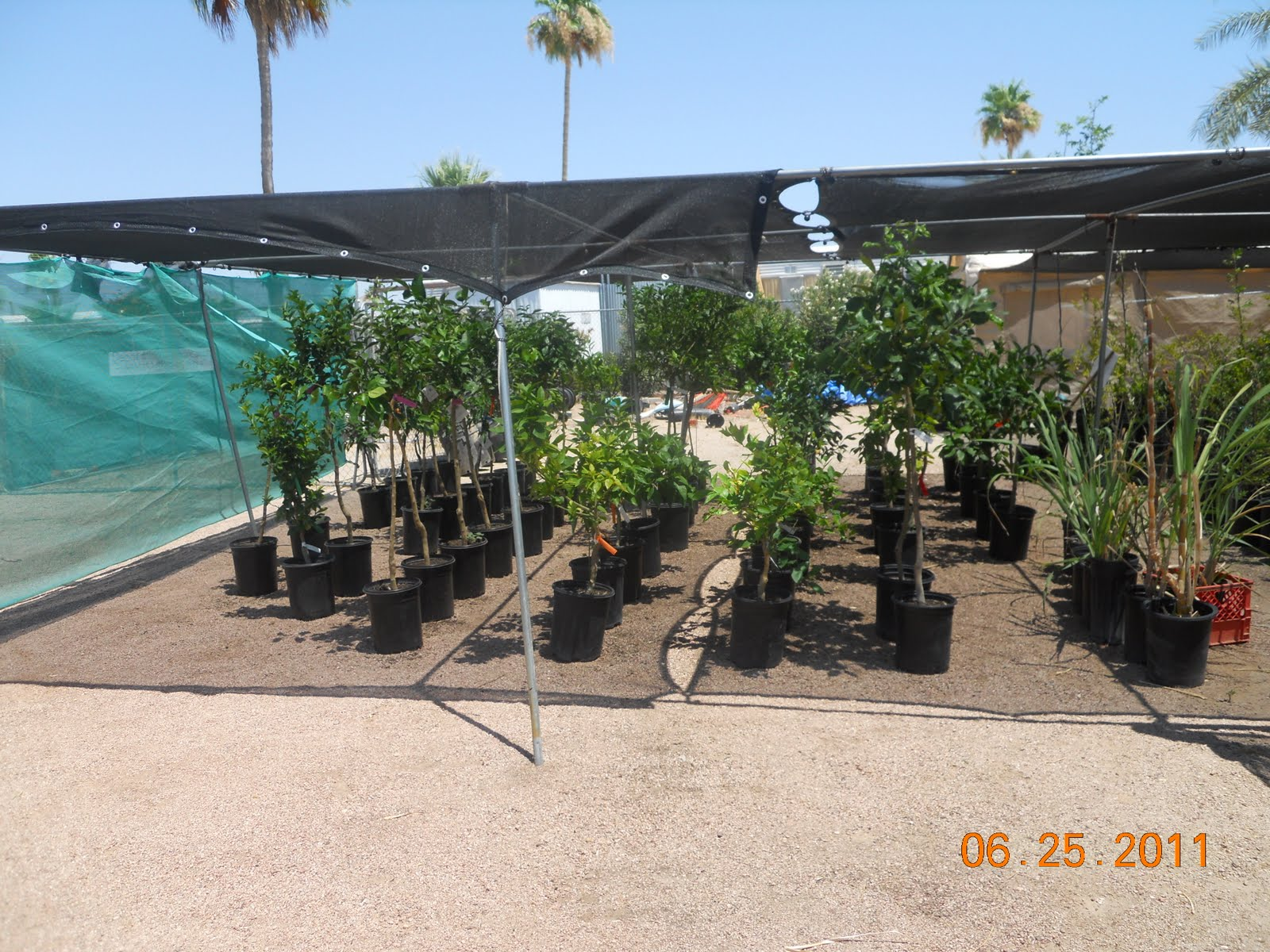 Some Of The Many Varieties Tropical Fruit Trees Found At E Mesa Nursery