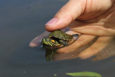 hoyennoticia.com, Liberadas 600 tortugas hicoteas en La Estrella y Caracolí