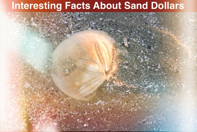Interesting Facts About Sand Dollars in Hindi