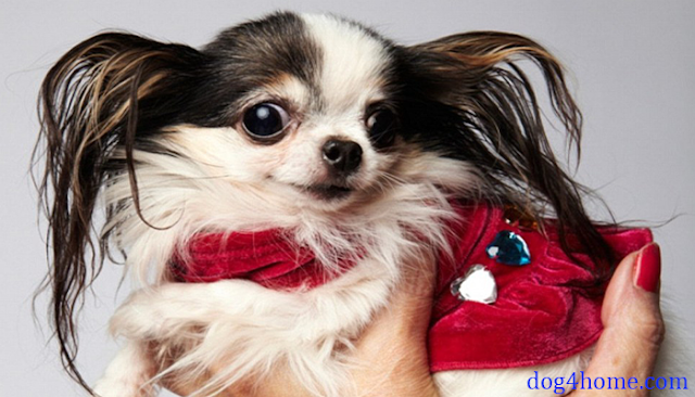 TOP 9 SMALLEST DOGS IN THE WORLD( NEW GUINNESS WORLD RECORD)