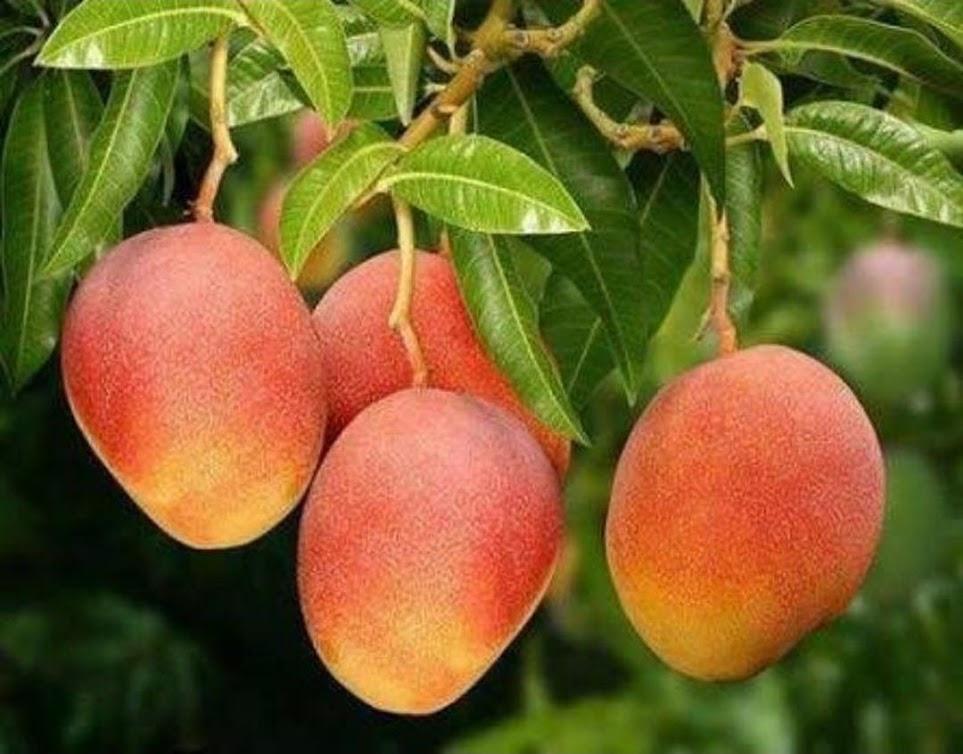 Bibit buah mangga gedong gincu super manis cepat berbuah Jawa Barat