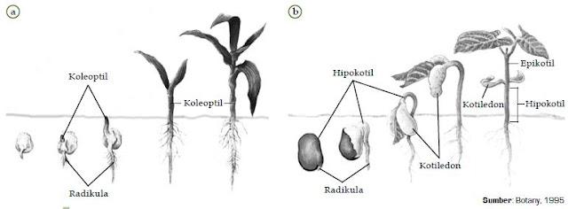 Berikut ini akan dijelaskan mengenai pertumbuhan dan perkembangan Pengertian dan Definisi serta Macam-Macam Pertumbuhan dan Perkembangan Pada Tumbuhan (Primer dan Sekunder)