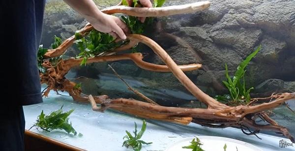 Driftwood in Oscar Fish Tank