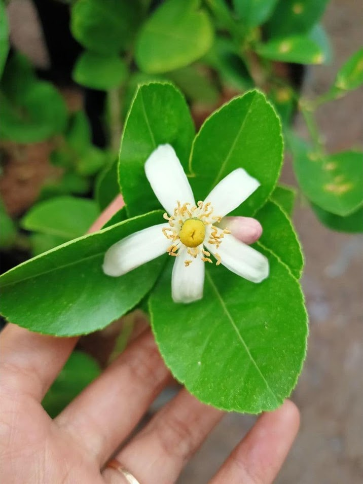 bibit pohon Tanaman buah jeruk limo sudah berbuah nipis purut bali lemon siam kip keep LIMAU Riau