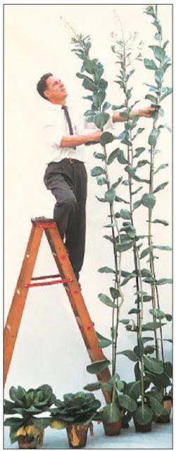 Gambar Efek gibberelin terhadap bunga. Kiri. Tanaman kubis tumbuh di luar dalam suhu dingin. Kanan. Tanaman kubis ditanam di rumah kaca yang hangat. Tanaman tumbuh tinggi tetapi tidak berbunga sampai diobati dengan gibberelin. (© Sylvan H. Wittwer / Visual Tidak Terbatas)