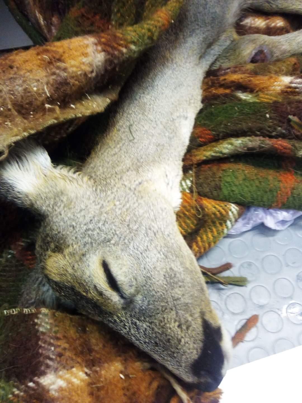 Έσωσαν τραυματισμένο ζαρκάδι στην Ξάνθη