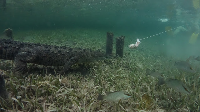 crocodile eats chicken footage underwater