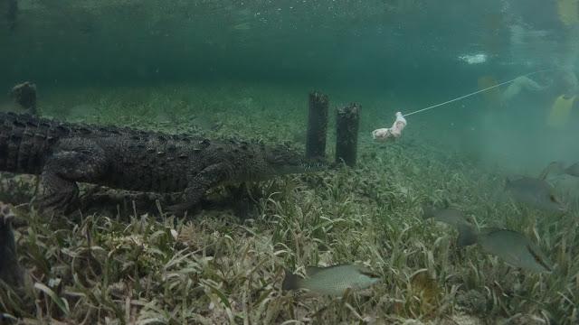 crocodile eats chicken footage underwater