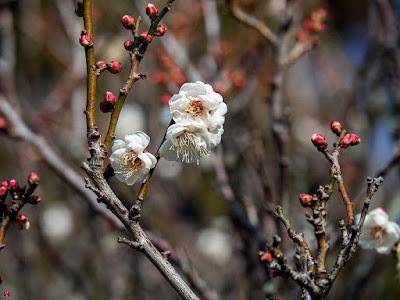 Ume (Japanese apricot) blossoms: Engaku-ji