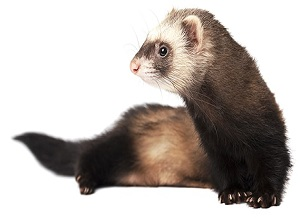 Health Insurance for your Pet Ferret