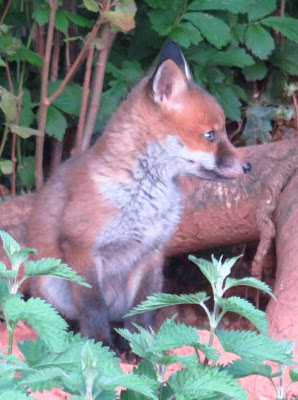 Photo of a red fox cub, sitting and looking to the right, in front of tree root