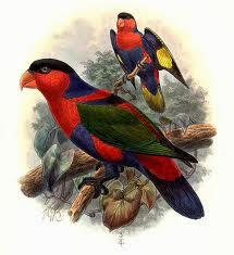 Lori tricolor: Lorius lory