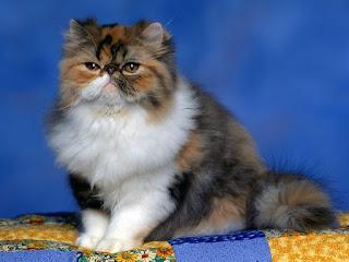 Warna tortie pada kucing jantan