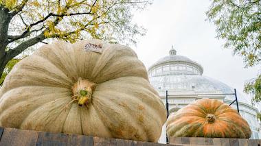 Plétora de calabazas en el Botánico de Nueva York: Las calabazas más grandes del mundo y otras cucurbitáceas