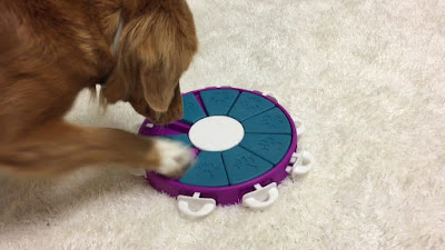 A brown dog with white paws is pictured playing with a blue and purple puzzle toy
