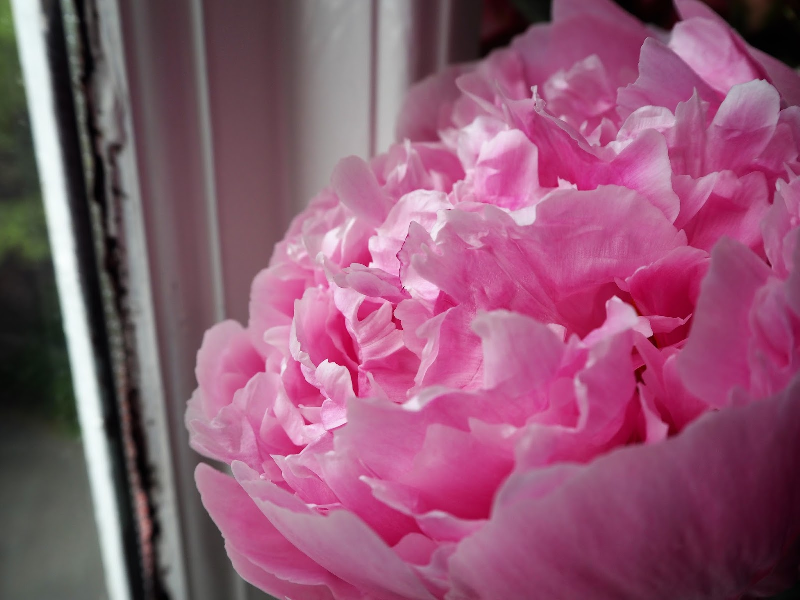 Photographs of Peonies
