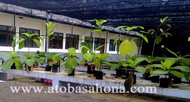 Pohon Jabon Putih (Anthocephalus cadamba)