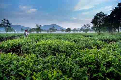 China Aiming To Improve Tea Plantation Via Slope Technology