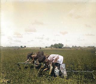 menyiangi padi muda di sawah dengan cangkul