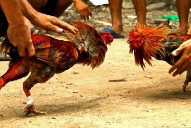sabung ayam di indonesia