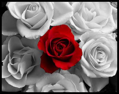 red white rose wallpaper