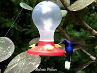 Violet sabrewing, Costa Rica - June 22, 2011, by Roberta Palmer