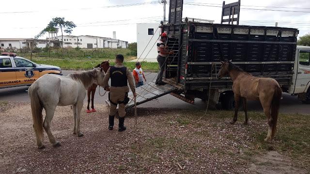 SMTT de Nossa Senhora do Socorro realiza operação e apreende animais soltos nos vias🐎
