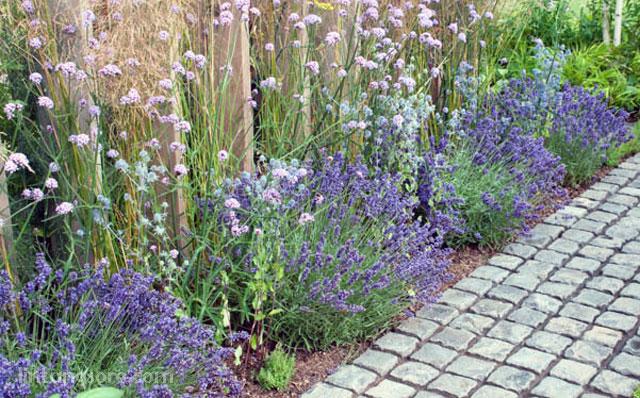 Lavender tanaman pengusir nyamuk