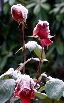 rose, frost,
