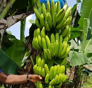 Tanaman pisang cavendish merupakan salah satu tanaman penghasil buah-buahan unggul yang banyak digemari masyarakat. Di Indonesia, bibit pisang cavendish banyak ditanam dan dikembangkan di Daerah Sumatera Utara, Lampung, Jawa Barat dan Jawa Timur. Pengusahaan perkebunan pisang cavendish di jogja Indonesia