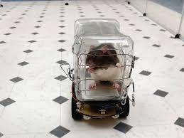 Rats drive cars   Relieves anxiety   University of Richmond