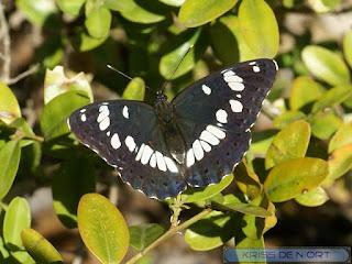 Limenitis reducta - Sylvain azuré - Azuritis reducta
