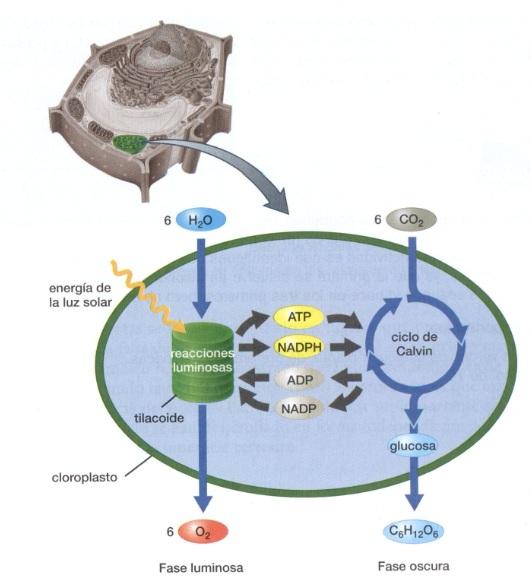 anabolico fotosintesis