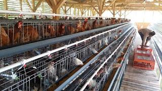 analisis usaha ayam arab  kampung petelur
