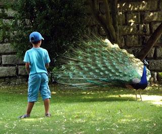 criança olhando para pavão