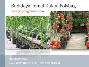 Cara Budidaya Tomat Organik Memakai Polybag