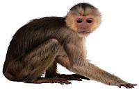 Mono Capuchino Común